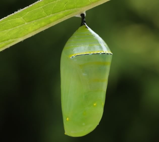 The living jewel, the chysalis