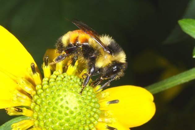 Tri-colored bumblebee on green headed coneflower