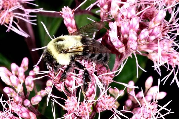 bumblebee on Joe Pye