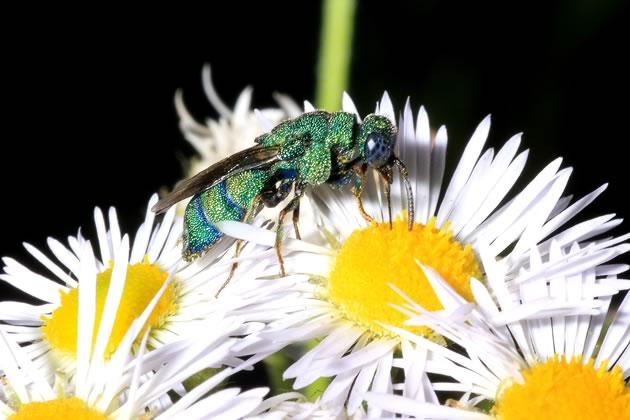 cuckoo wasp on fleabane