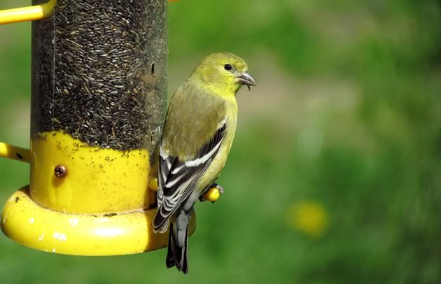 goldfinch female feeding on nyger