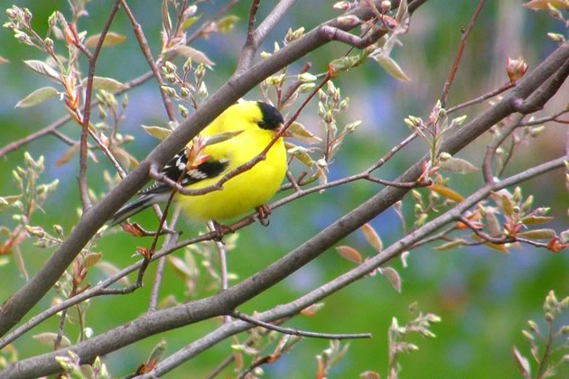 goldfinch in spring