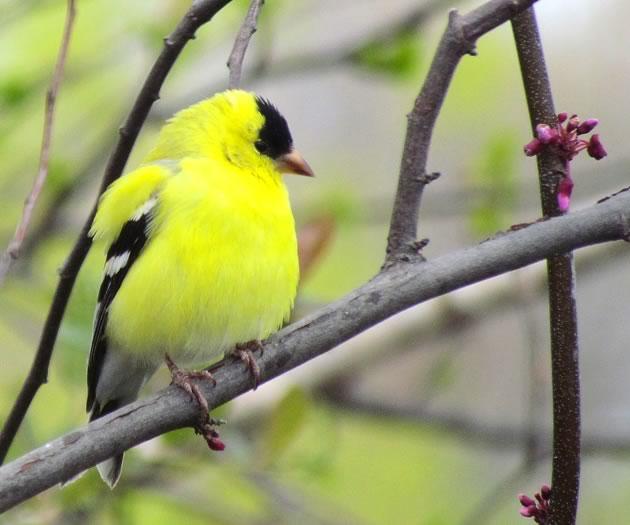 goldfinch male in spring