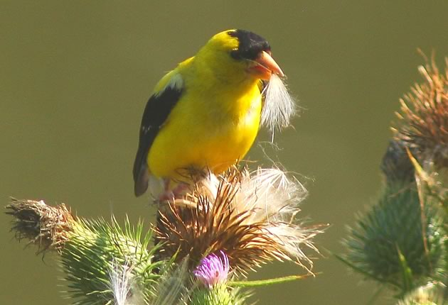 male goldfinch eating thistle seed