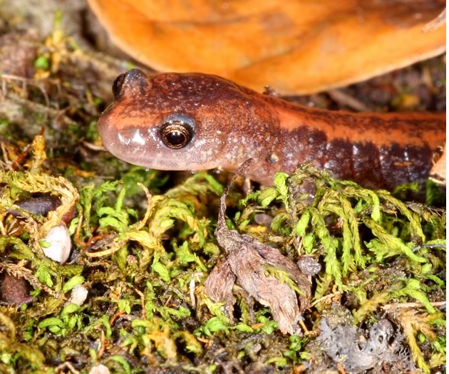 Red-backed salamander up close