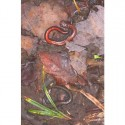 Red-backed salamanders - one lead-backed phase