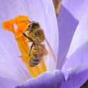 Honeybee and crocus