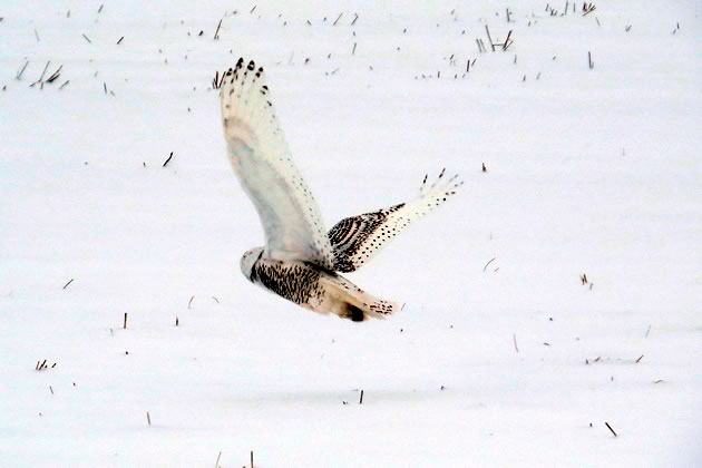 Snowy owl flying Melancthon