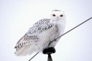 Snowy owl on a wire. Photo by Dan MacNeal.