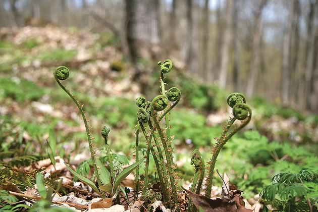 BruceTrail_FiddleheadsLimeKilnProperty