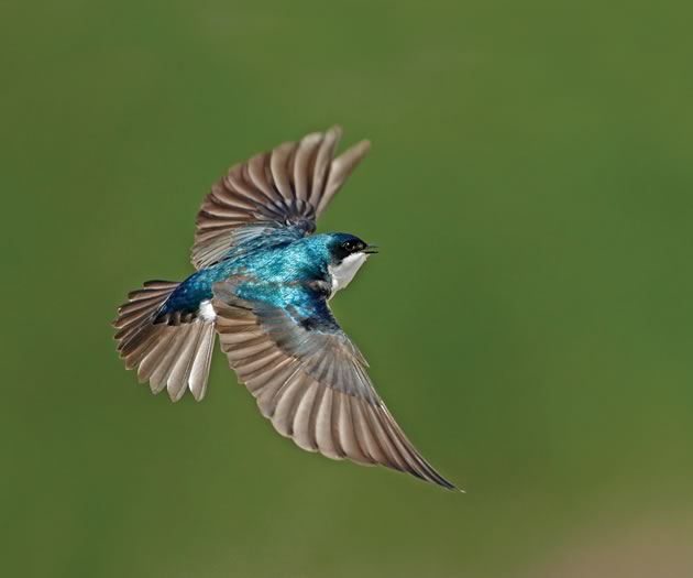 An iridescent tree swallow in flight. Photo by Robert McCaw.