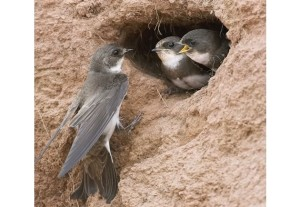 Bank swallows nest in colonies in sand banks. Photo by Robert McCaw.