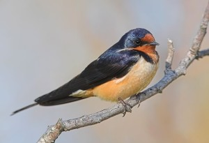 Barn swallow. Photo by Robert McCaw.