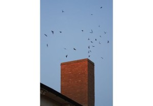 Chimney swifts returning to their roost at dusk. Photo by Robert McCaw.