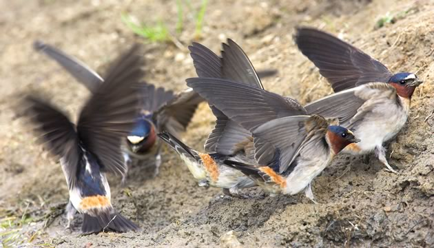swallows_CliffGatheringMudNesting