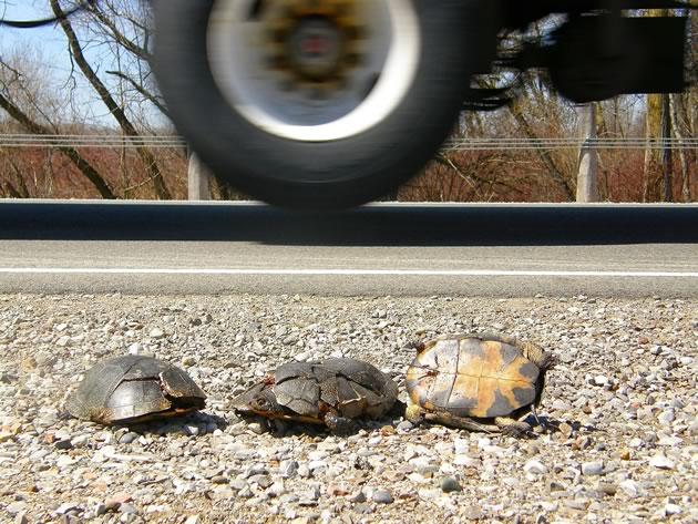 Blanding's roadkill victims