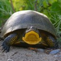 Blanding's turtle about to cross a road