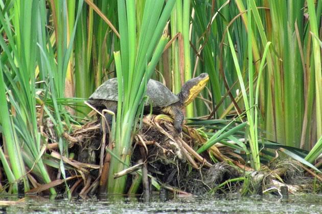 Blanding's turtle basking