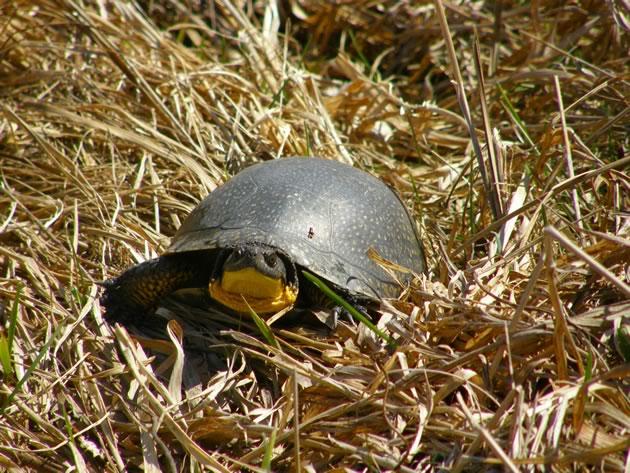 Blanding's turtle wandering