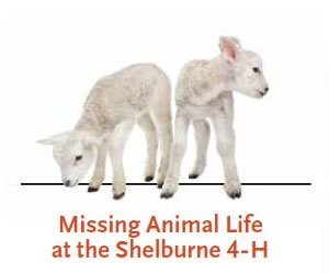 Missing lambs in Shelburne