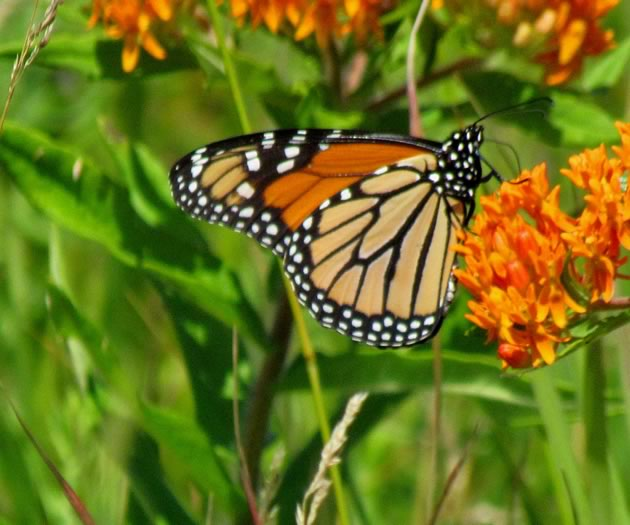 monarch on butterflyweed featured