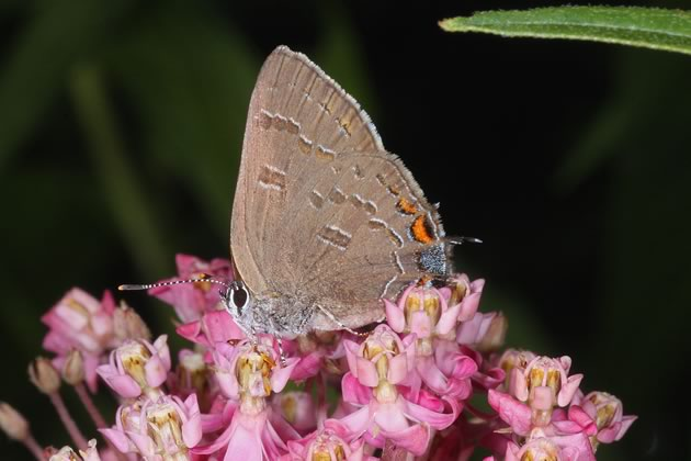swamp milkweed and banded hairstreak butterfly