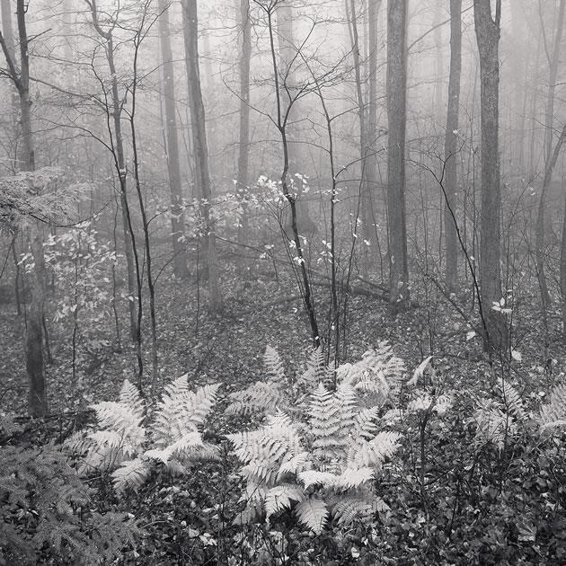 "Peter Dusek Ferns photographic pigment print 16 x 20"""