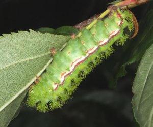Io moth cats sport a bristling armament of stinging hairs.