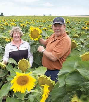 The sunflowers, planted every other year in a field next to Mountainview Road, have become something of a local tourist attraction. Photo by Pete Paterson.