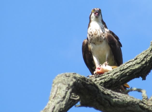 osprey enjoying a meal