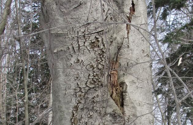 beech bark disease take two
