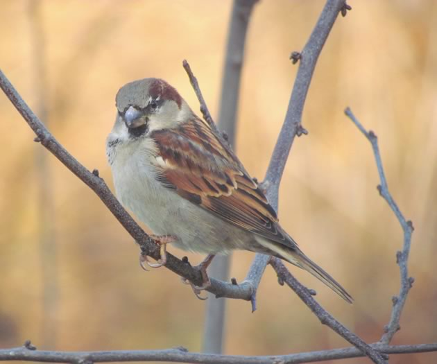 House sparrow male in winter