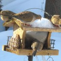 Mourning doves at the bird feeder buffet