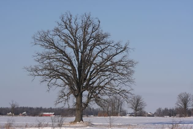 Why do so many sentinel bur oaks grace farm fields in Caledon and other parts of southern Ontario?