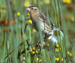 Female bobolink colours bear little resemblance to the showy male plumage. Photo by Robert McCaw.