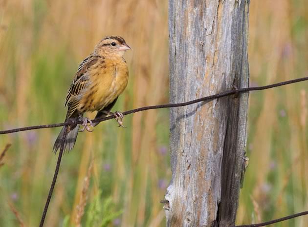 bird_BobolinkJuvenile8668