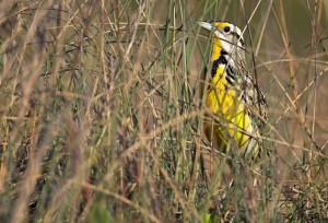 In the absence of wild meadowlands, bobolinks and meadowlarks nest in farm fields where the young fall prey to the combine. Photo by Robert McCaw.