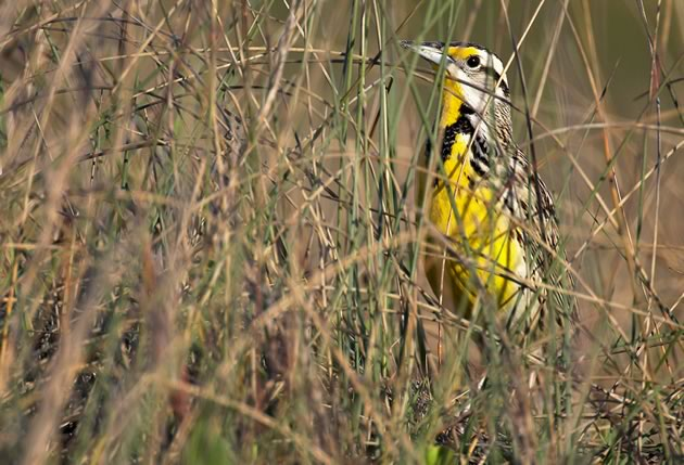 bird_Meadowlark2821