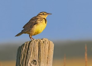 Juvenile meadowlark. Photo by Robert McCaw.