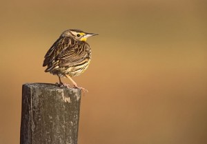 A fledgling meadowlark – safe from the tractor's mower. Photo by Robert McCaw.