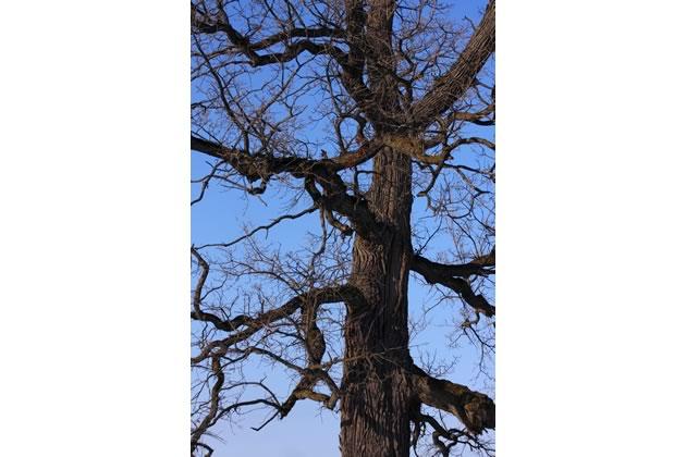 bur oak close up