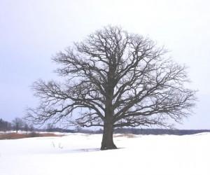 Bur oaks spread their muscular limbs on the Peel Plain