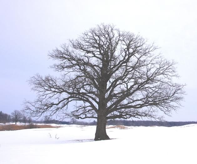 bur oak featured