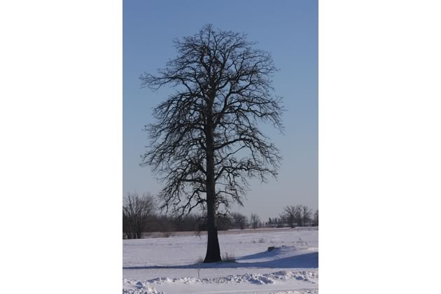 Can anyone explain why bur oaks were planted in Peel so many years ago?
