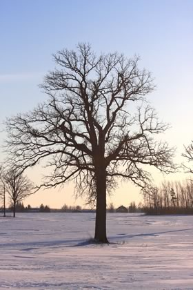Bur oak at sunset