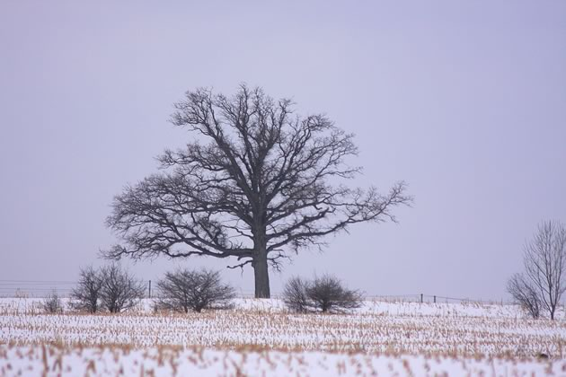 One reason bur oaks are able to flourish in farm fields is their affinity for sun and dry conditions.