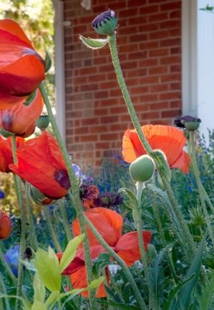 The bold colours of poppies, irises and daylilies frame the farmhouse in June. Photo by Rosemary Hasner / Black Dog Creative Arts.