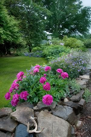 A deep pink peony, blue geraniums, yellow yarrow and white Gillenia make a lively parade of colour along a stone wall next to the driveway. Photo by Rosemary Hasner / Black Dog Creative Arts.