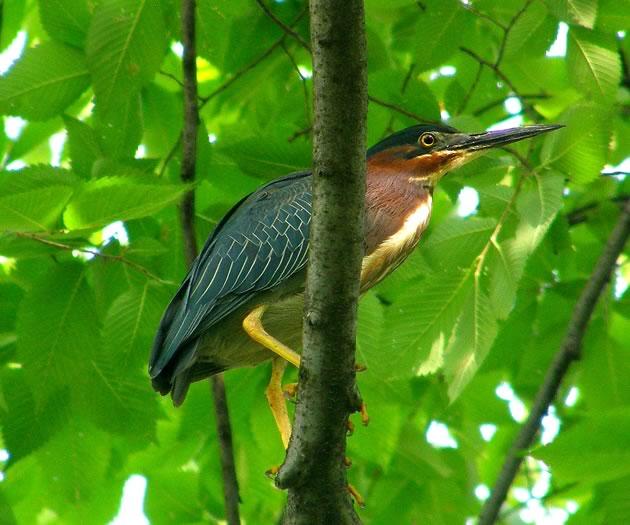 green heron featured