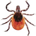 Adult female tick